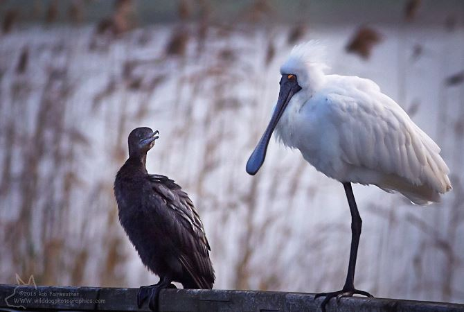 Little Black Cormorant & Royal Spoonbill
