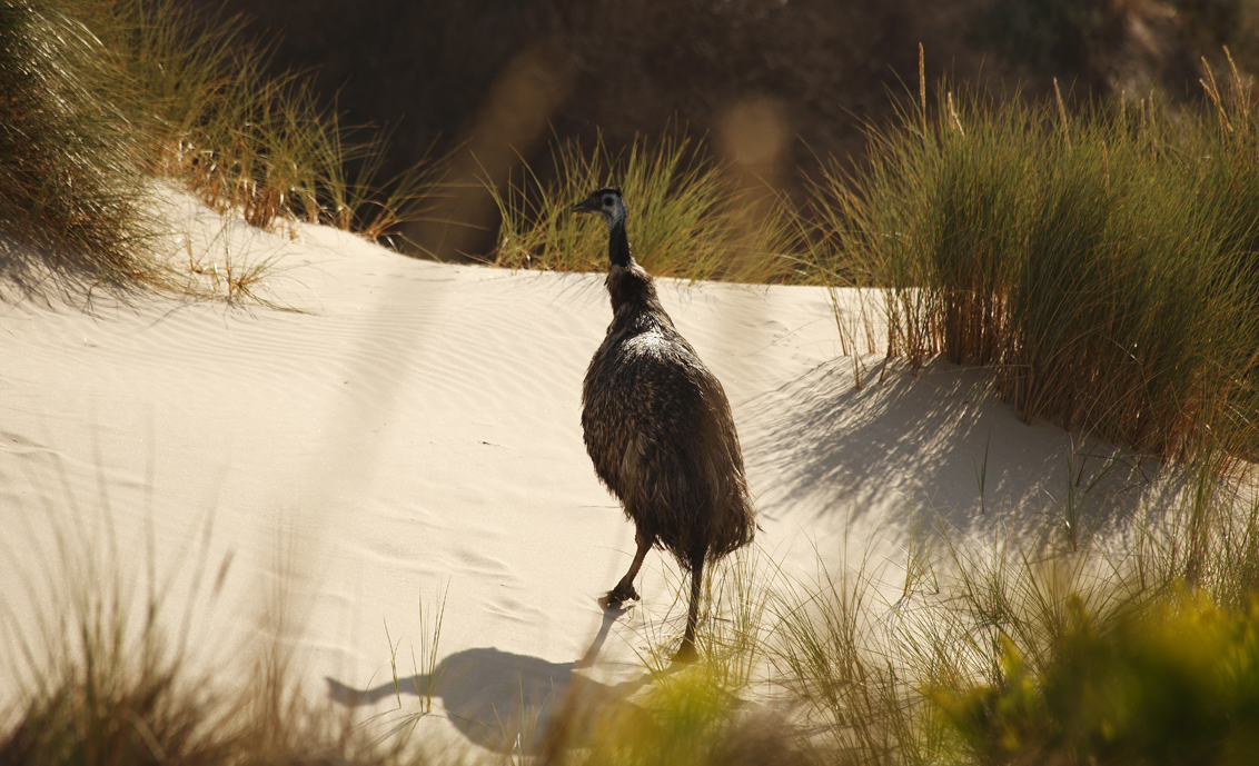Emu in the Coorong