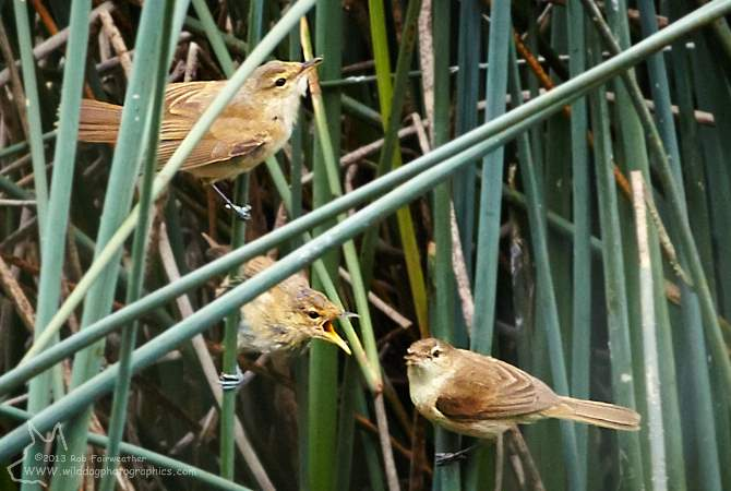 Male and Female Reed Warbler feeding young