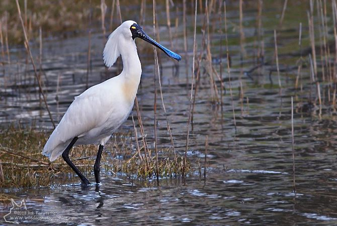 Royal Spoonbill Goolwa