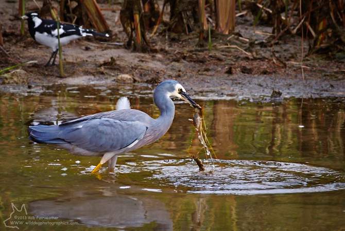 White Faced Heron feeding